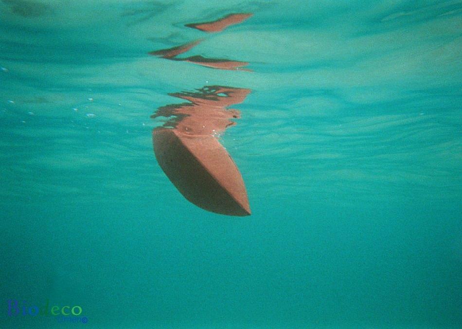 De biologisch afbreekbare zee-urn Memento koraal, sierlijk zinkend na de asbijzetting in het water